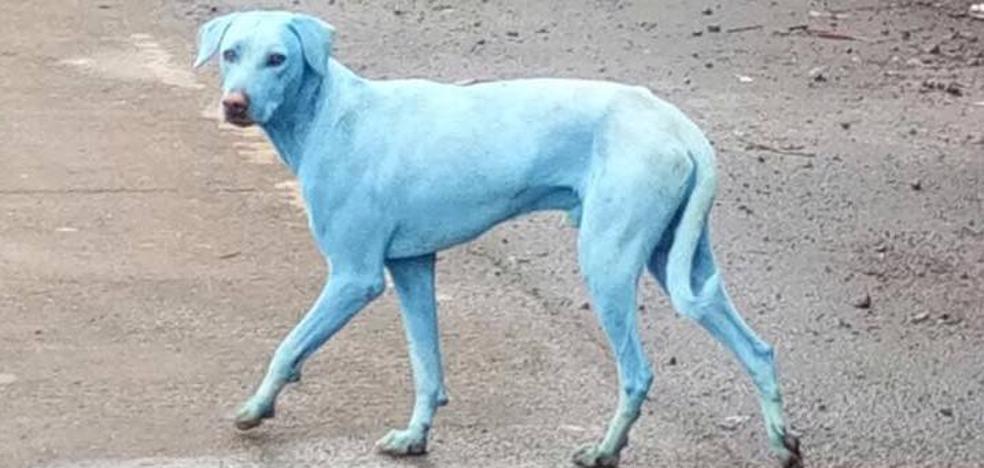 Los perros azules de India, espejo de la contaminación