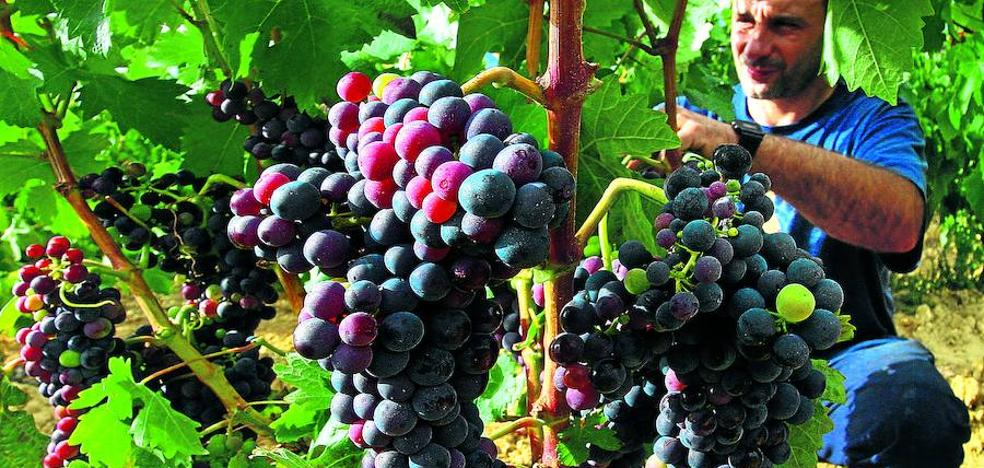 Las bodegas de Rioja piden «moderación» en el precio de la uva ante la mermada cosecha