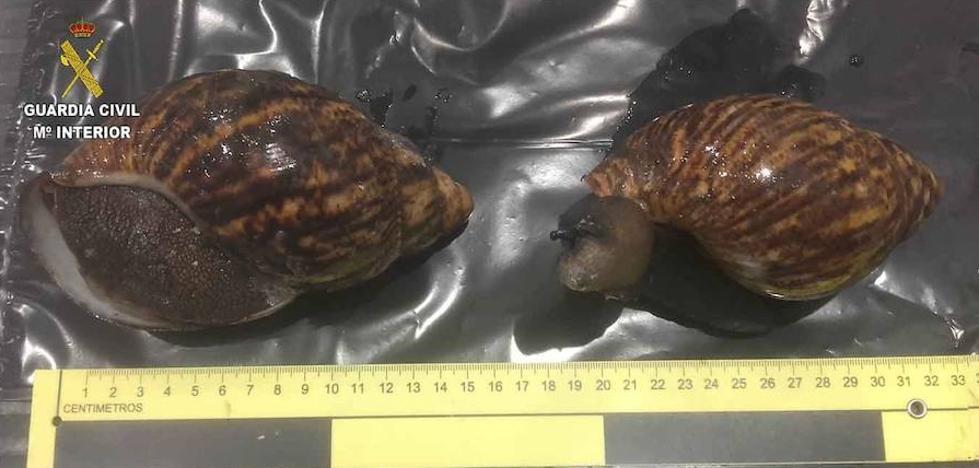 Hallan en Loiu 22 caracoles gigantes en la maleta de una pasajera procedente de Nigeria