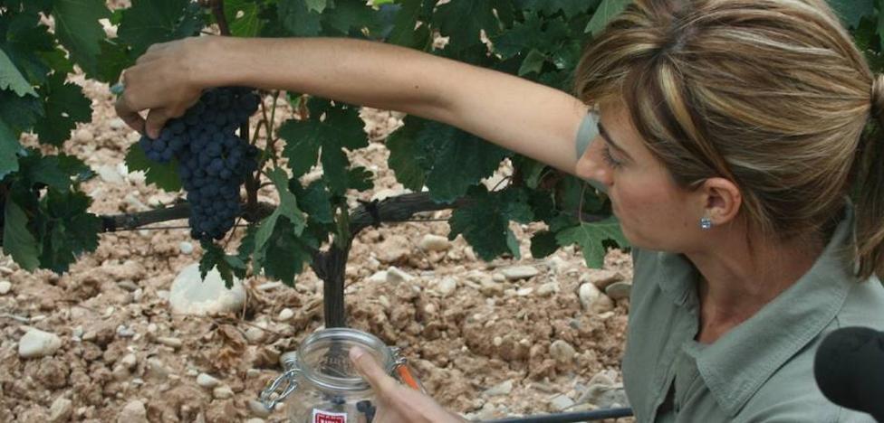 El Consejo Regulador destaca el «buen estado vegetativo y sanitario» de la uva