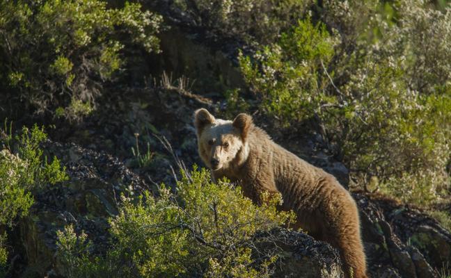 El documental 'Cantábrico. Los dominios del oso pardo', gratis en el Euskalduna