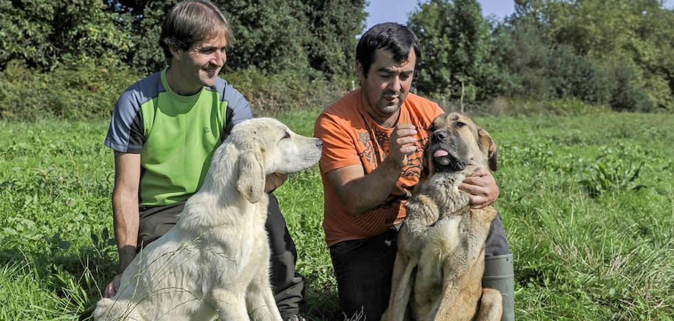 Mastines contra lobos en Carranza