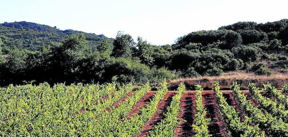 El hielo y la sequía marcan una vendimia con menos uva pero de excelente calidad