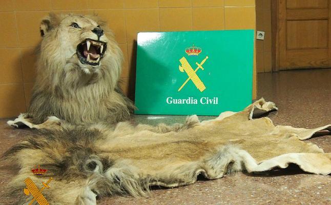 La Guardia Civil interviene una cabeza naturalizada de león y su piel en un vehículo en Miranda