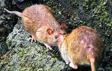 Getxo planta cara a las ratas con una campaña «intensiva»