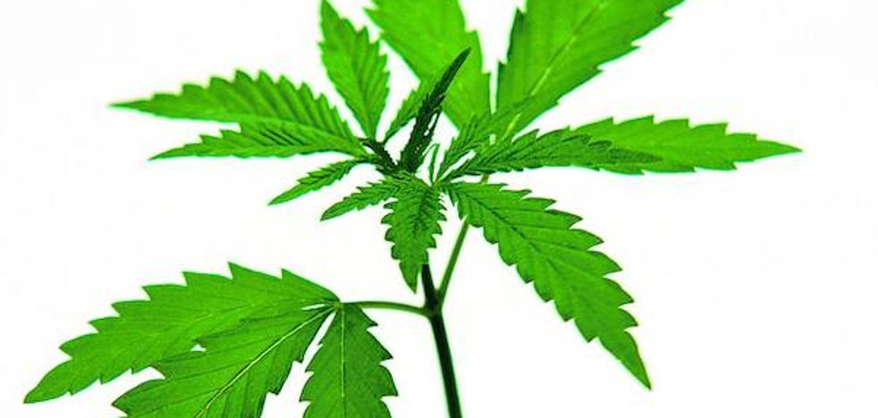 ¿Debe el cannabis utilizarse en medicina?