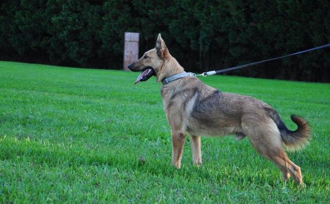 La mitad de los perros en adopción en Basauri son de razas potencialmente peligrosas