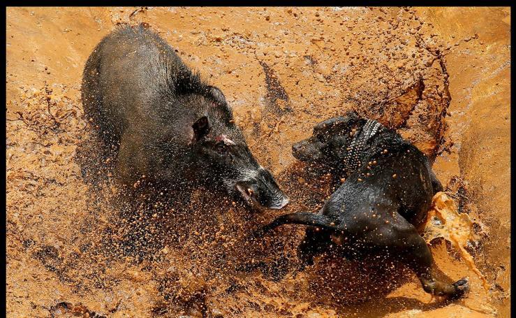 Peleas salvajes entre cerdos y perros