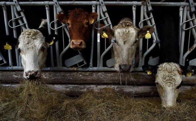 Detectan un caso de 'vaca loca' en una explotación de Salamanca