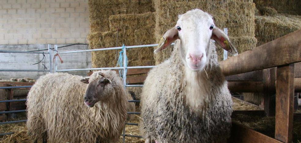 La lana, un problema para las granjas vizcaínas: «Nadie la quiere, ni regalada»