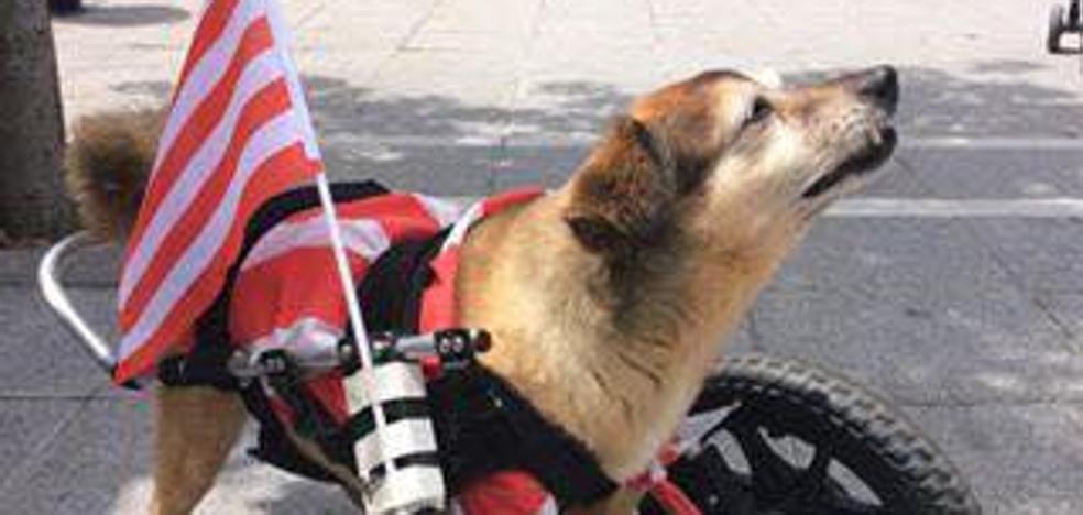 Muere 'Abu', el perro con ruedas de Basauri