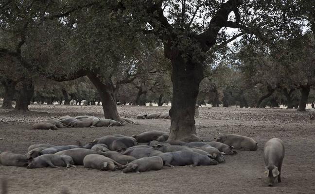 Una plaga amenaza el engorde del cerdo ibérico