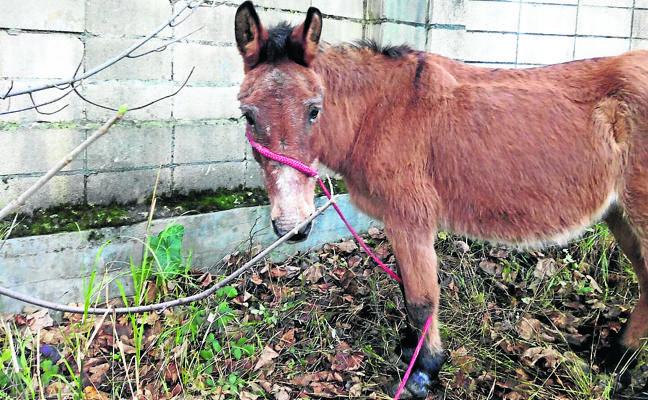 La Diputación multa al ganadero de San Miguel por «abandonar» al burro del Olentzero de Basauri