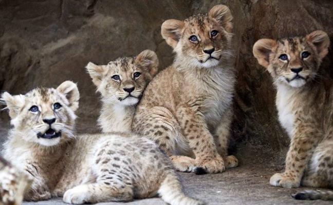 Un zoo sueco sacrifica a nueve cachorros de león por falta de espacio
