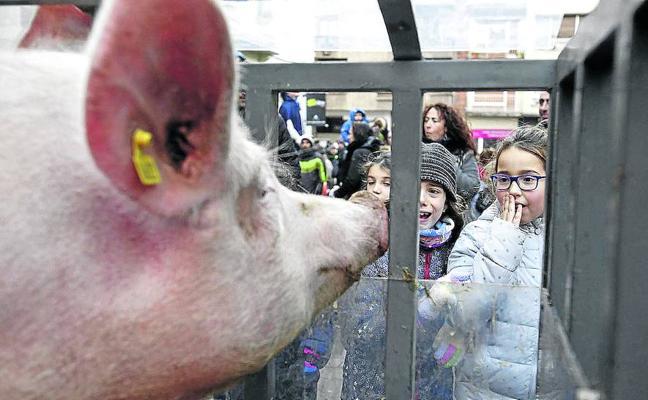 La rifa de San Antón cumple 236 años en Vitoria con el cerdo como protagonista