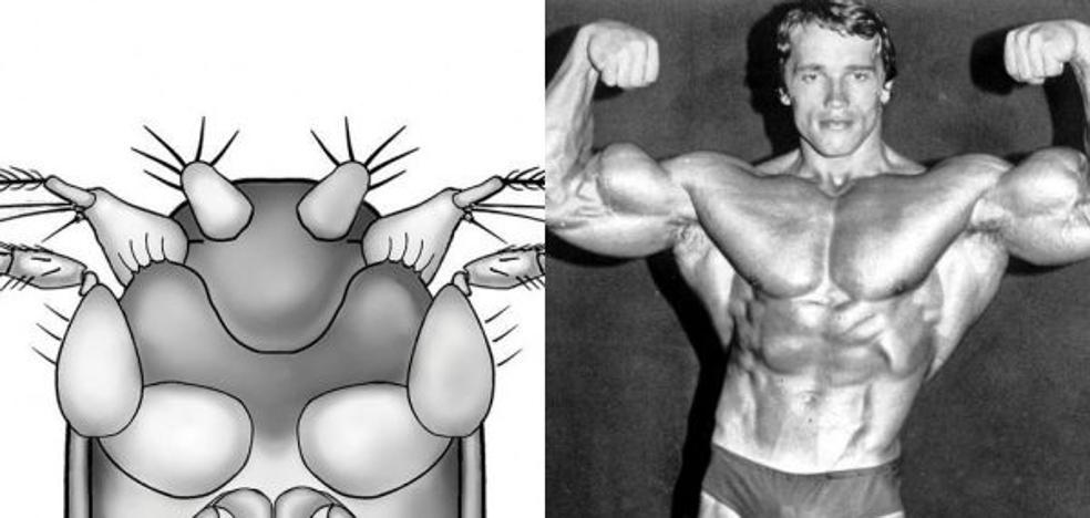 Arnold Schwarzenegger da su nombre a la mosca más pequeña del mundo