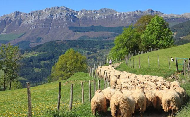 Robos de ganado en Berriz y Mendata: desaparecen 40 cabras y 36 ovejas