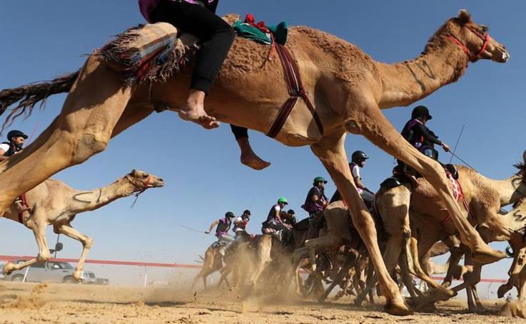 Festival de camellos en Abu Dhabi