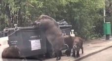 'Pigzilla', el jabalí gigante visto en Hong Kong