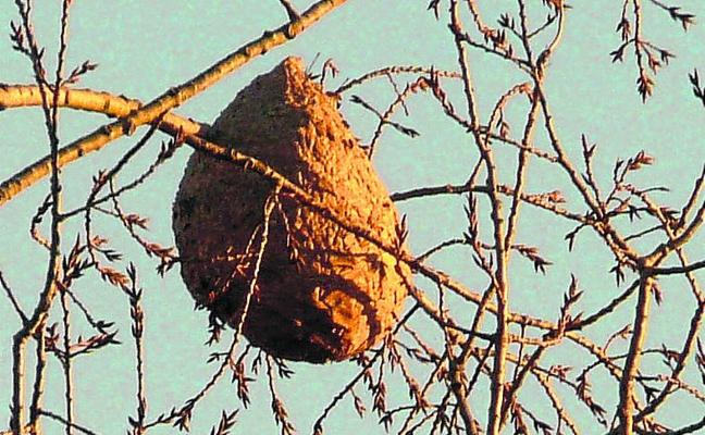 Abejorros contra avispas asiáticas en Getxo