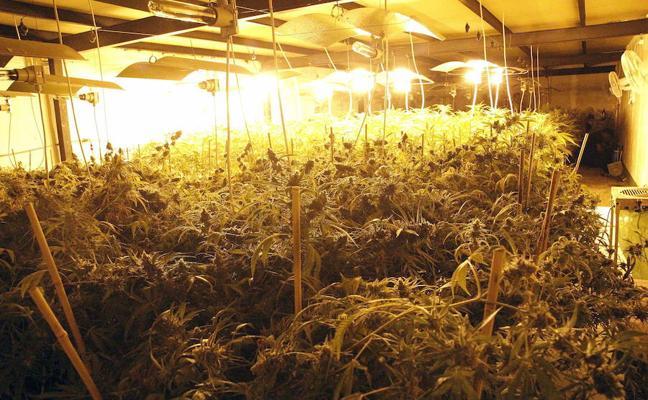 Detenido en Basauri tras hallarse 412 plantas de marihuana en su lonja