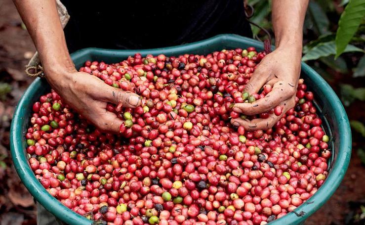 Café robusta contra los embates del clima