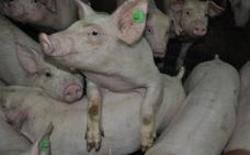 El suculento negocio del cerdo