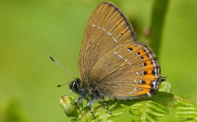 Armentia tendrá más olmos libres de grafiosis, indispensables para la mariposa colicorta