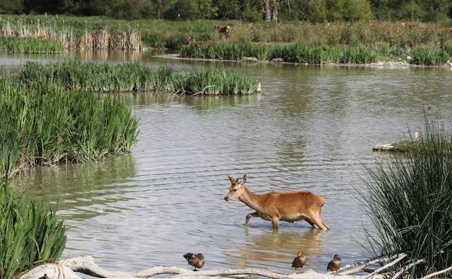 Investigan la muerte de una veintena de ciervos durante el último mes en el parque vitoriano de Salburua