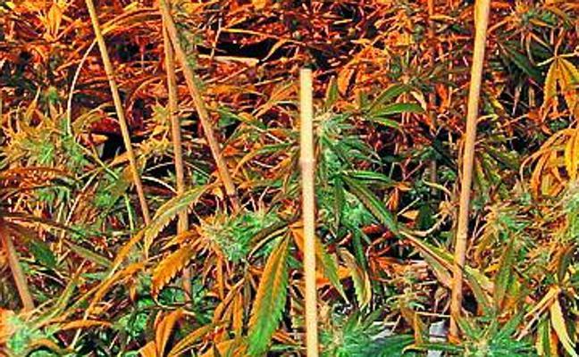 Dos detenidos en una plantación de marihuana frente a Foronda
