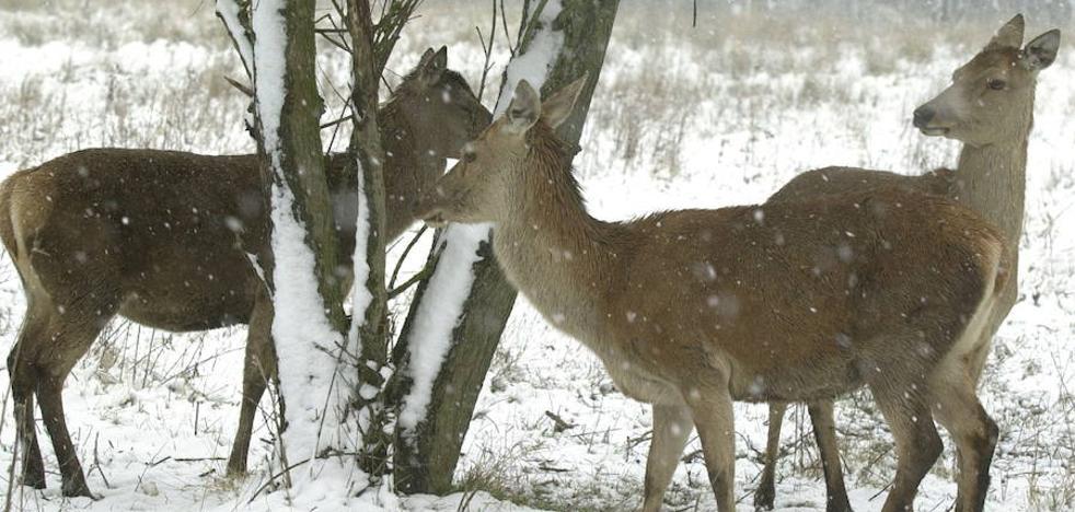 Ecologistas atribuyen la muerte de 29 ciervos en Salburua a un «maltrato animal»