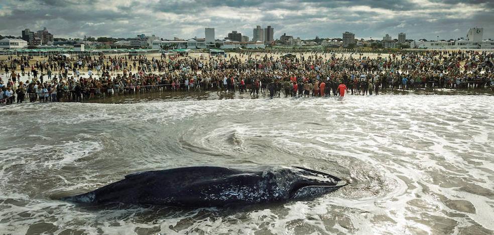 La agonía en Argentina de una ballena varada