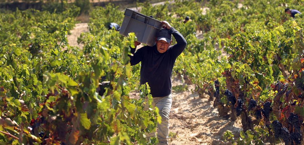 La cosecha de Rioja de 2017, 'muy buena'