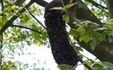Retiran un enjambre de abejas en Cruces