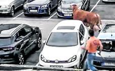 La Ertzaintza mata a tiros a un buey suelto por Llodio tras escaparse de un camión