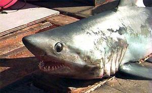 Incautados en un pesquero de Ondarroa 20 marrajos sardineros, una especie protegida