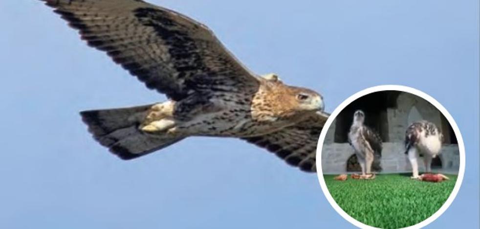 Cinco crías de la amenazada águila Bonelli para repoblar la Montaña Alavesa