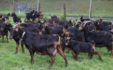 «Las cabras minimizan el riesgo de incendios y mantienen los montes limpios»