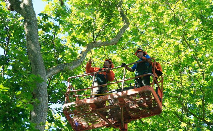 Vitoria, en alerta por sus árboles centenarios