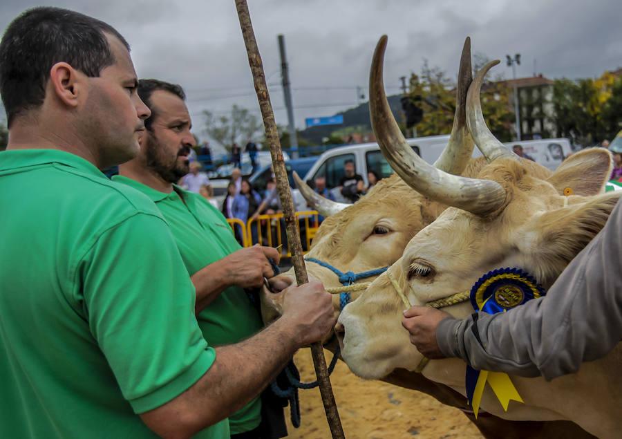 El mejor ganado pirenaico se mide en Gernika