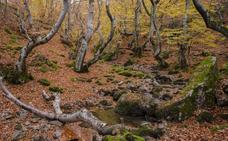 Árboles eternos en los bosques de León