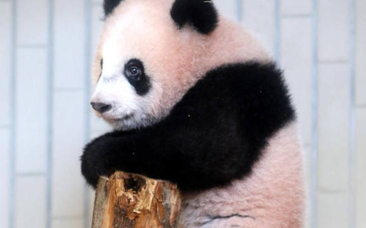 Furor por el nacimiento de un adorable oso Panda en Japón