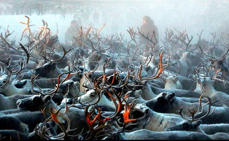 Renos en la tundra ártica