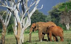 África tiene dos especies de elefante