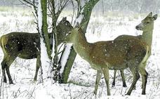 El frío y la falta de pastos debilitan a los ciervos de Salburua y causan ya 29 muertes