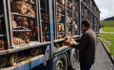 Investigado por transportar 8.000 gallinas en «estado deplorable» de Mungia a Cantabria