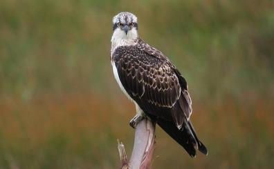 Programan salidas todos los viernes de verano en Urdaibai para avistar águilas pescadoras
