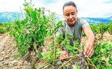 Rioja Alavesa evalúa los daños del granizo