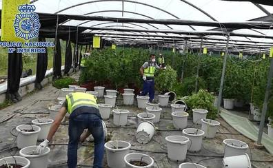 Desmantelada en Sopela una enorme plantación de marihuana