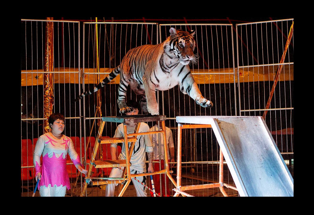 Un tigre triste
